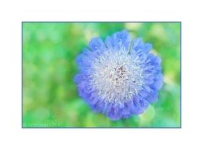 Blue Scabious