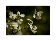 Large White Butterfly