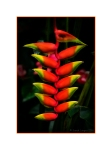 Heliconia - Lobster Claw Plant