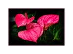 Anthurium - Flamingo Flower