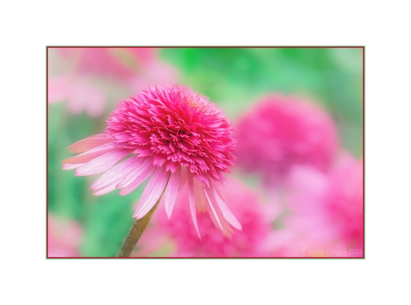 Echinacea - Southern Belle
