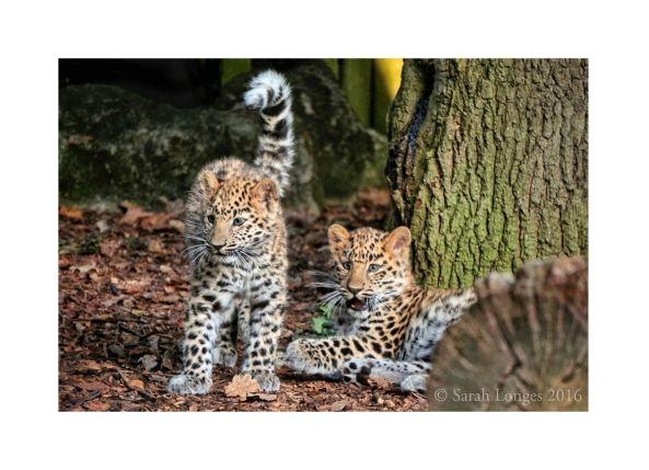 Amur Leopard Cubs at Marwell Zoo