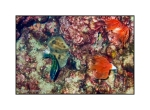 Juvenile Ornate Wrasse, Sponges and Anemone