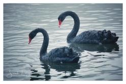 Black Swans at Trentham Gardens