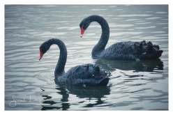 Black Swans at Trentham Gardens