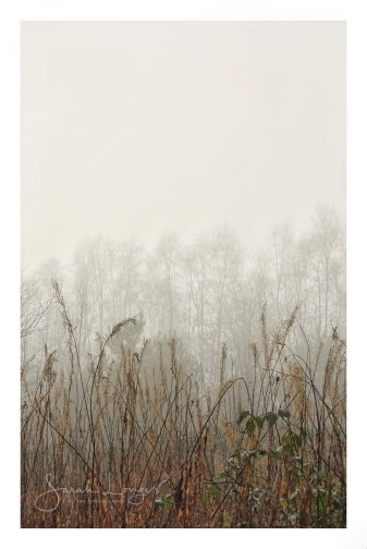 Trees in the mist at Trentham Gardens