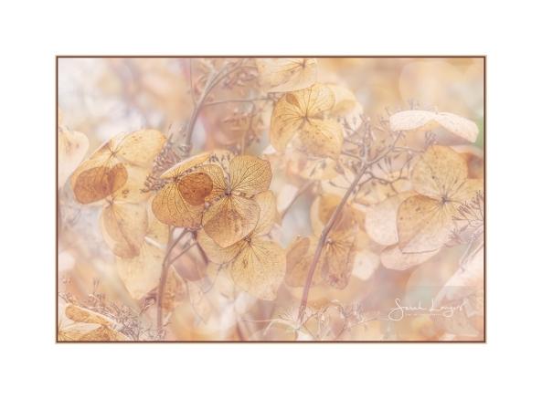 Naturally Dried Hydrangea