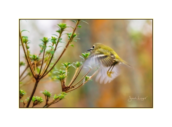 Goldcrest hovering in flight while feeding