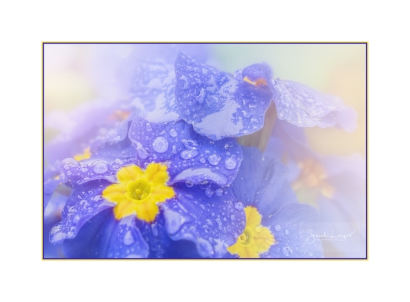 Raindrops On Primroses