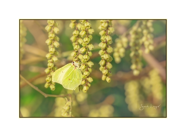 Brimstone On Tree Flowers