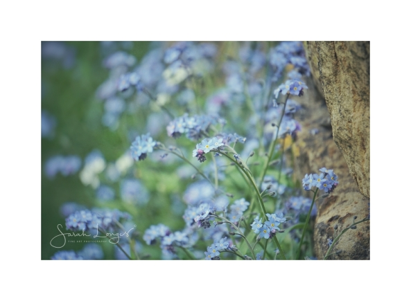Forget-me-Nots in the Cotswolds