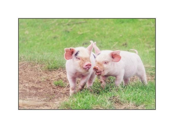 Piglet Playtime