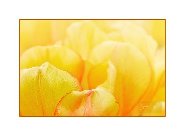 Golden Tulips