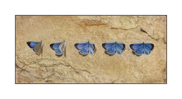 Holly Blue composite
