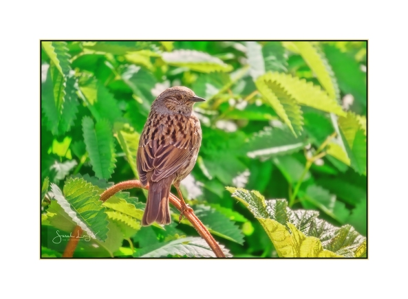 Dunnock in Spring foliage