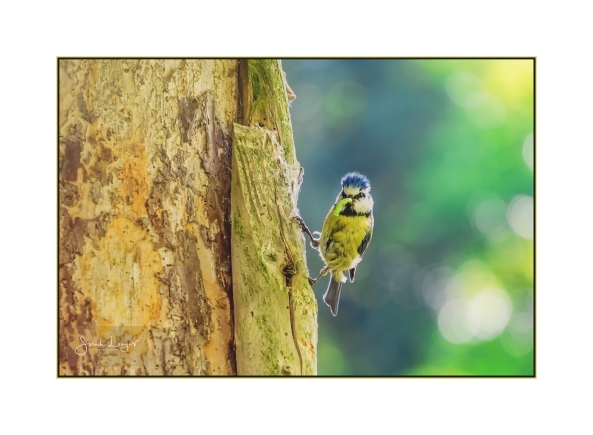 Blue Tit returning to the nest with a caterpillar