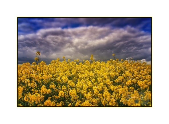 Rapeseed Fields in The Cotswolds