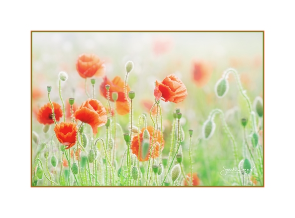 The Dancing Poppies