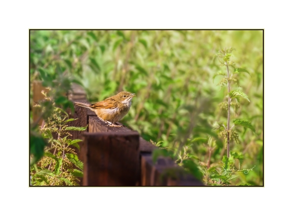 I think it's a Marsh Warbler