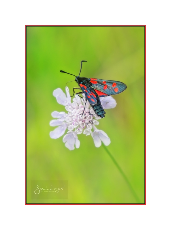 Six Spot Burnet Moth on Wild Scabious Flower