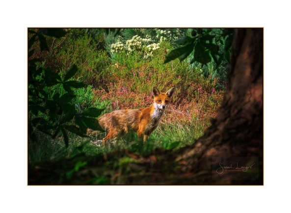 Fox In The Pinetum
