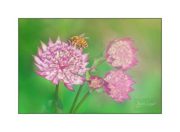 Bee On Astrantia