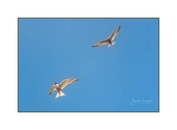 Common Terns in flight