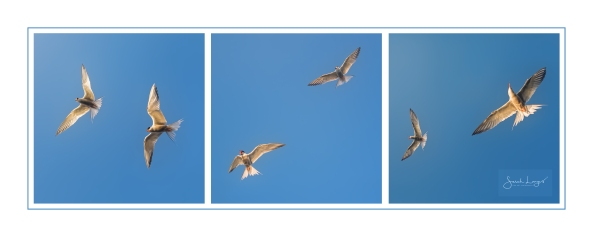Tern Triptych