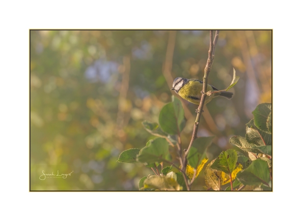 Blue Tit in bright autumn light