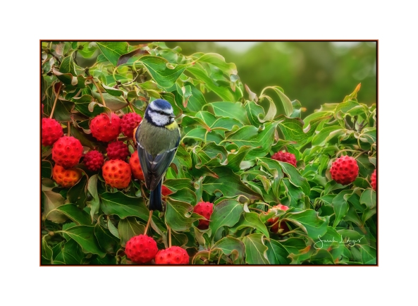 Blue Tit and Bountiful Berries (Cornus kousa var. chinensis)