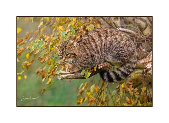Female Scottish Wildcat
