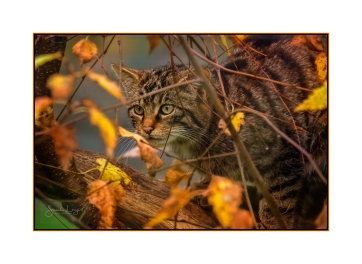 Young Scottish Wildcat