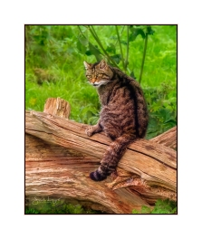 Male Scottish Wildcat