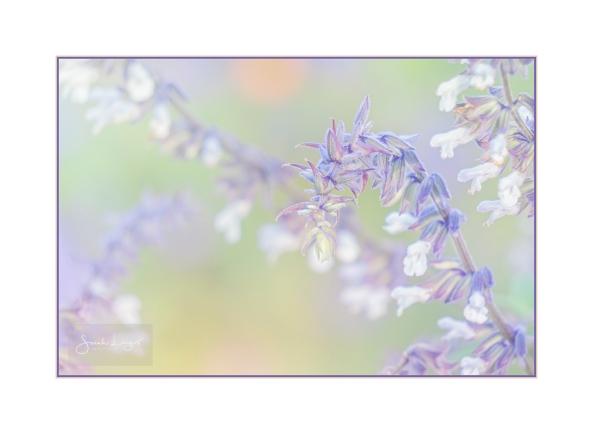 Soft Salvia