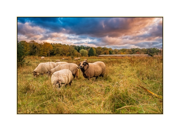 Living Lawnmowers at Heather Farm Wetlands Centre