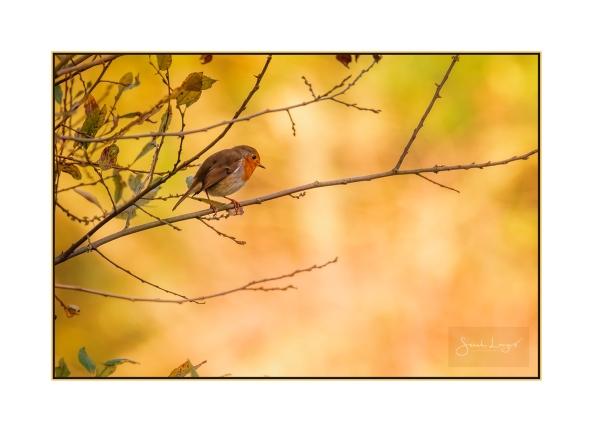 Autumnal Robin