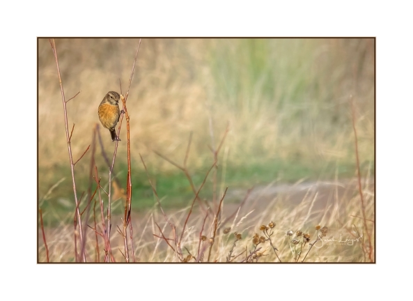 Stonechat On a Slender Stem