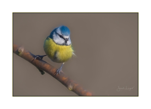 Blue Tit painted in Topaz Studio