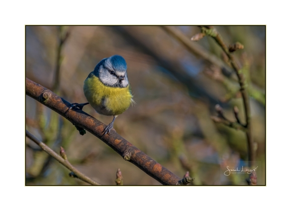 Blue Tit in Shropshire