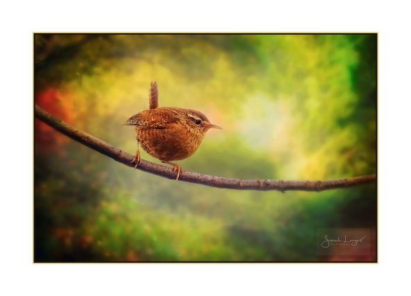 Wren In The Woods