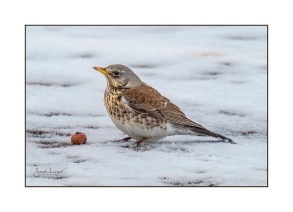 Fieldfare with food