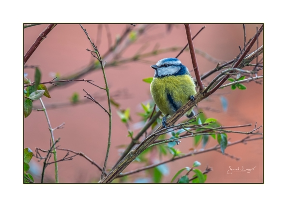 Blue Tit and budding Spring leaves