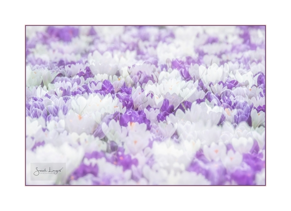 Multiple Exposure High Key Croci