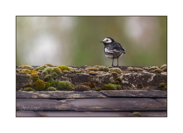 Pied Wagtail on a slate rooftop