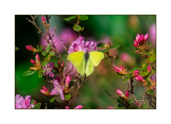 Brimstone in full bloom