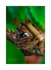 Pied Wagtail Nesting