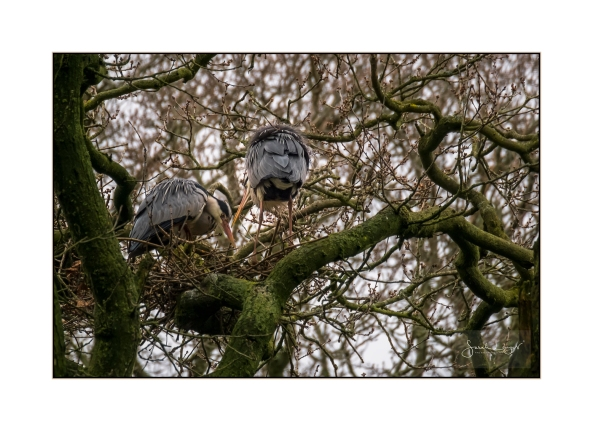 Nest Building at Swell Wood Heronry