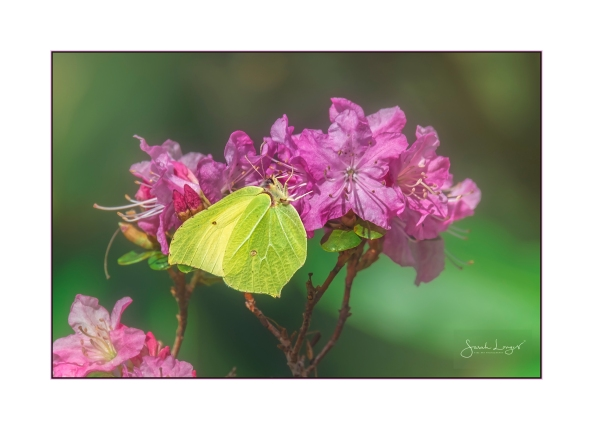 Brimstone on azalea