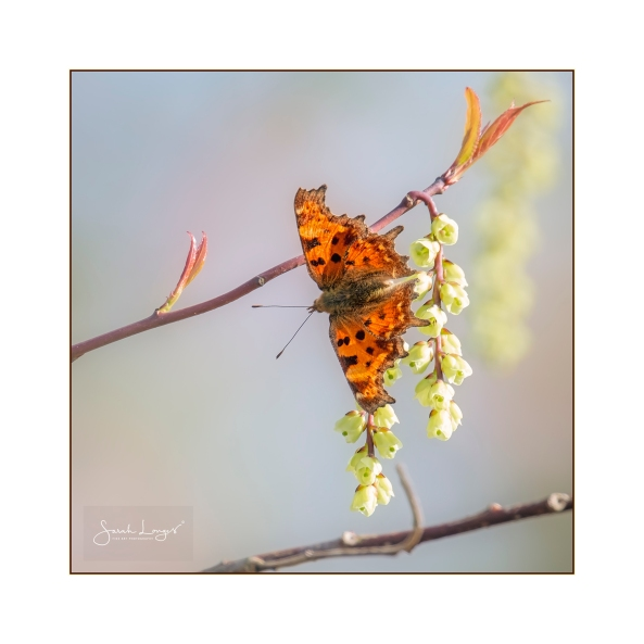 Comma on blossom