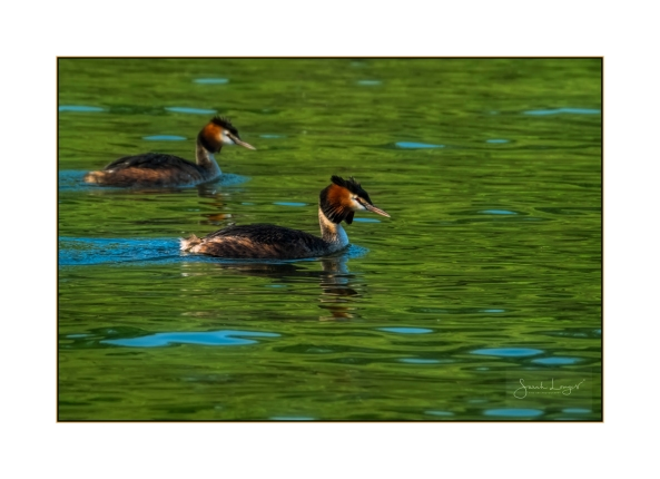 Thorpe Lake Grebes